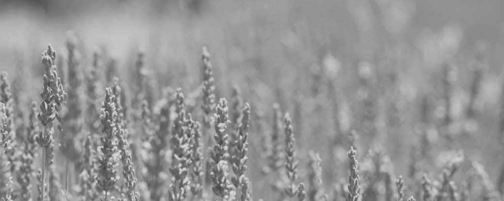Lavender Field B&@